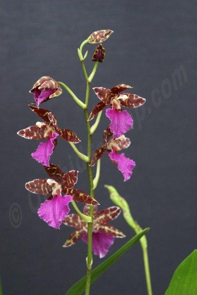 """Odontoglossum Violetta """"Dominique"""""""