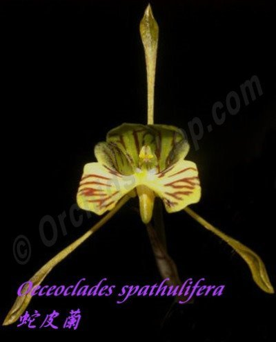 Oeceoclades spathulifera (Snake Orchid)