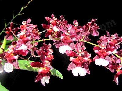 "Oncidium Jairak Fragrance ""Mon-Tho"""