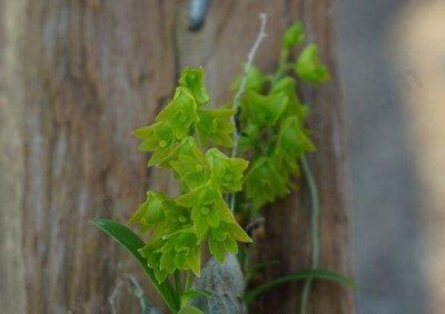 """Dendrobium minutiflorum """" Big"""""""