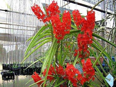 """Ascocentrum curvifolium """"Santi"""" 'Big'"""