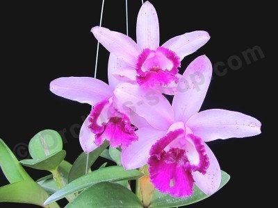 "Cattleya intermedia var. orlata ""Rio"""