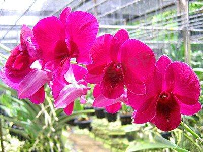 Dendrobium Jairak Redder