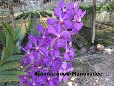 Arach. hookeriana x V. Maduvadee