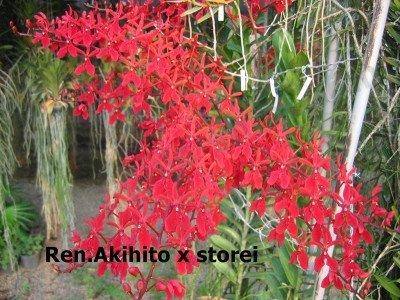 Ren. Akihito x Storei
