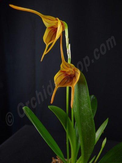 Masdevallia Orange Stripe