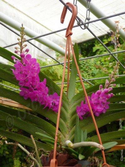 """Rhynchocentrum Lilac Blossom """"Dark Pink"""""""