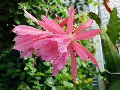 """Epiphyllum Cactus """"Windy"""""""