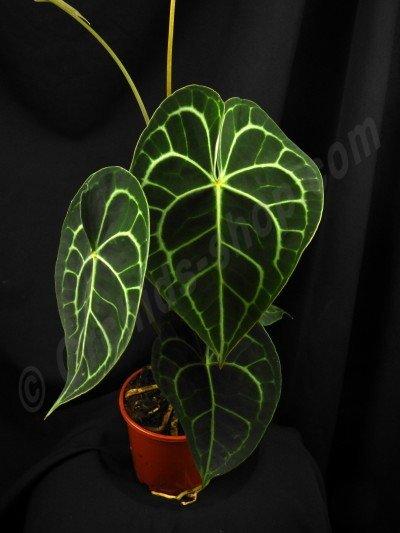 """Anthurium clarinervium """"Big"""""""
