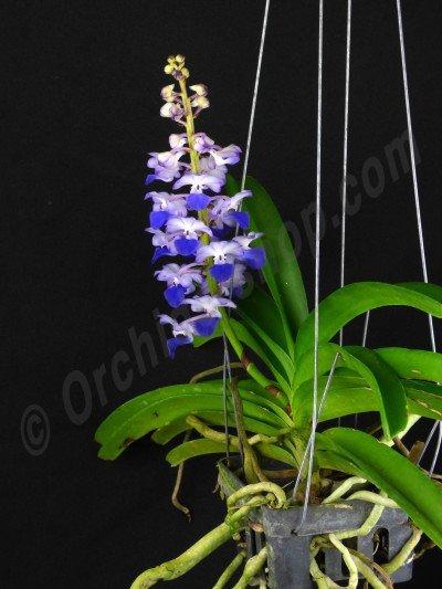 """Rhynchostylis coelestis """"Blue"""""""