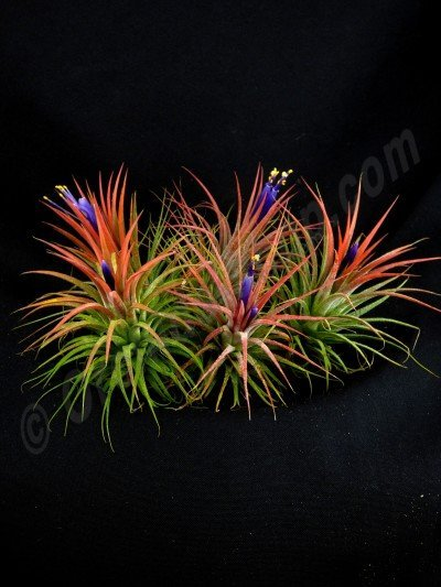Tillandsia ionantha (15 stuks)