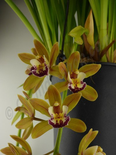 "Cymbidium Sarah Jean ""Yellow Ice Cascade"""