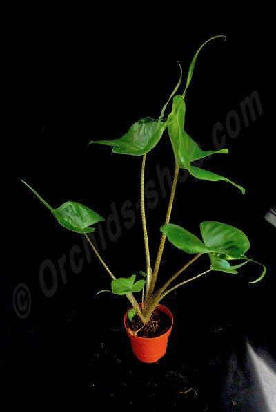 "Alocasia macrorrhiza ""Stingray"""