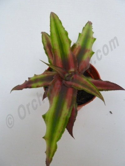 "Cryptanthus bivittatus ""Green/Brown"""