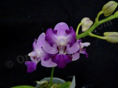 Doritis pulcherrima var. Blue x Phalaenopsis Purple Martin