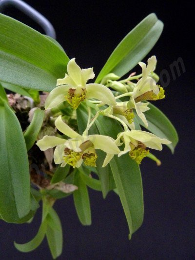 Dendrobium delacourii ''Big''