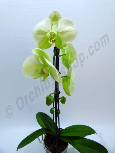 "Phalaenopsis Norman's Jade ""Green Apple"""