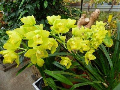 Cymbidium Shiny Yellow