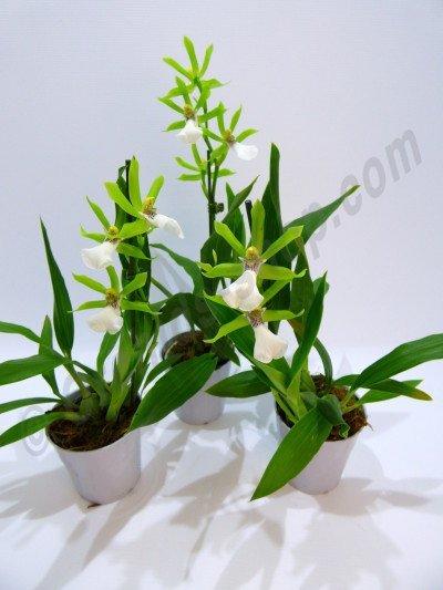 Zygopetalum Reginae Alba