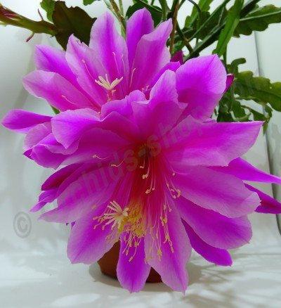 "Epiphyllum Purple ""Big"""