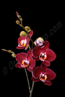 Phalaenopsis Elegant Debora