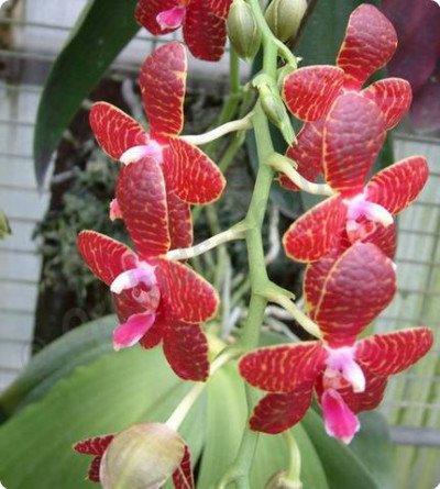 Phalaenopsis Red Jaguar