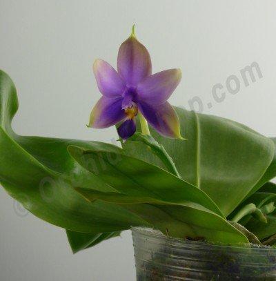 Phalaenopsis violacea x bellina