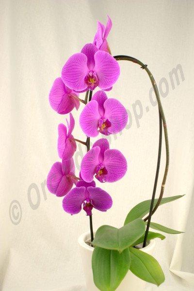 Phalaenopsis Long Pink Pride