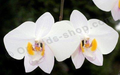 Phalaenopsis philippinensis