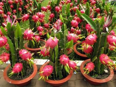 "Hylocereus undatus ""Dragon Fruit""Big Plant"
