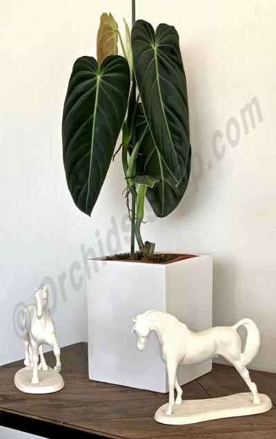 "Philodendron melanochrysum ''3-4 Big Leaves"""