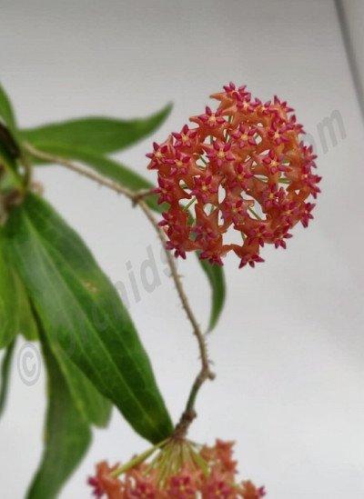 Hoya bordenii