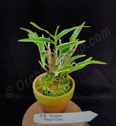 "Dendrobium moniforme var. Variegata ""Tenppou"""