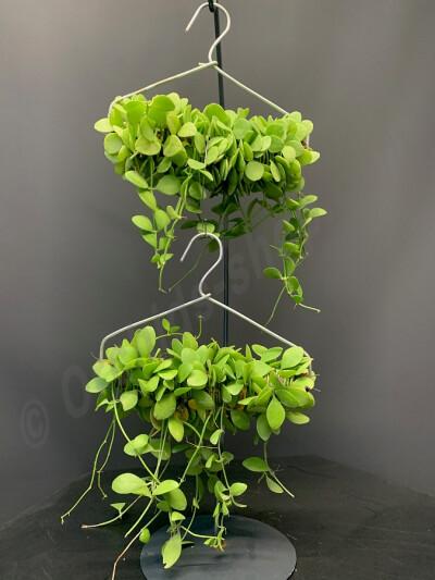 "Dischidia nummularia  ""kapstok hanger :) """