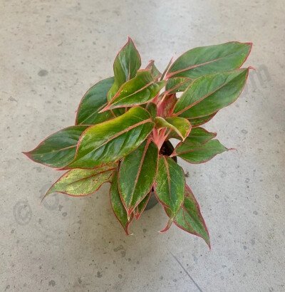 "Aglaonema ""King Of Siam"""