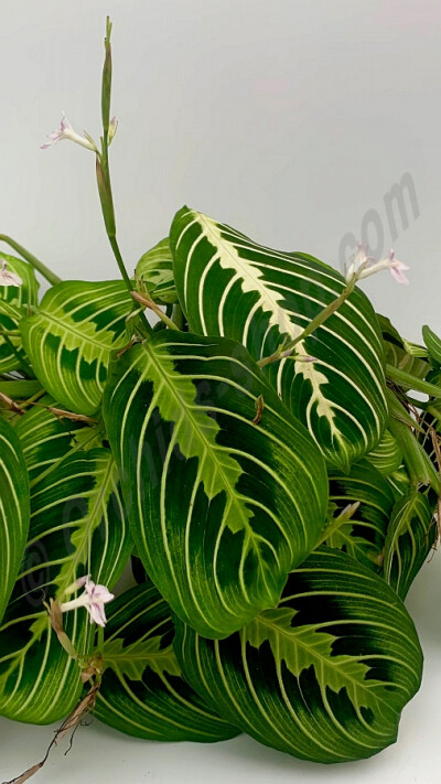 Maranta leuconeura var. erythroneura 'Lemon Lime' (Small Plant)