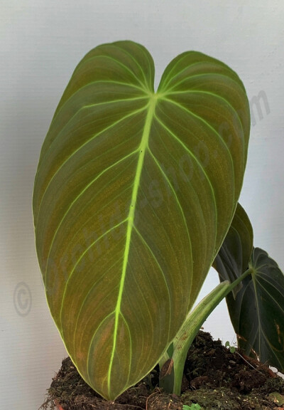 Philodendron melanochrysum  ''4 Leaves""