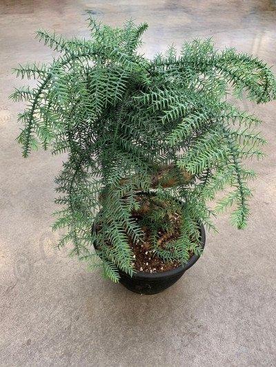 Araucaria chinensis