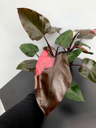 Philodendron Pink Princess ''Big leaves/Plant'' (6/7 Leaves)