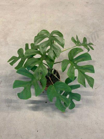 Monstera minima (Rhapidophora Tetrasperma)