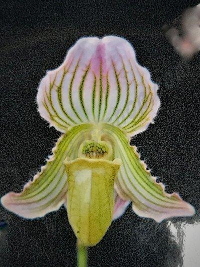 Paphiopedilum fairrieanum  semi alba