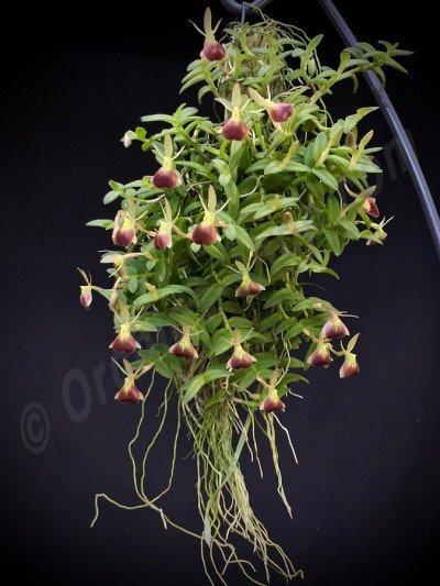 Epidendrum porpax ''XL''