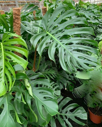 "Monstera deliciosa ""Big Leaves and holey leaves"""