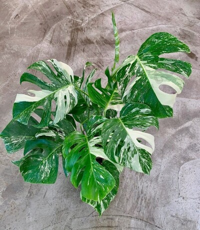Monstera Variegata  ( 6 leaves )