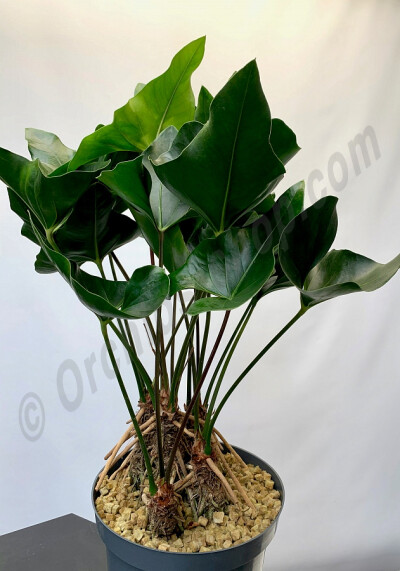 Anthurium Arrow ''Big Plant 3 Stuks''
