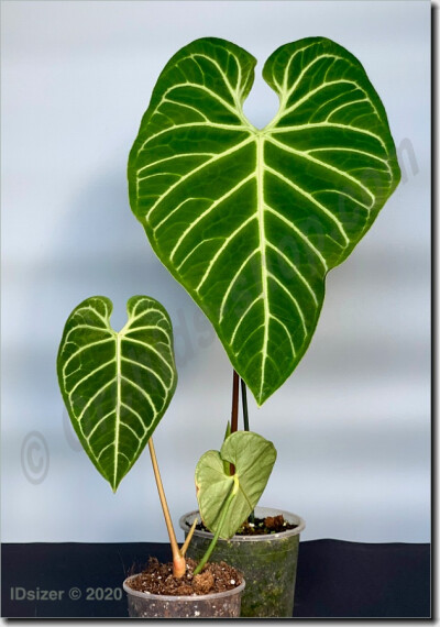 Anthurium Regale (Big Trunk)