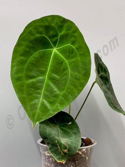 Anthurium forgetii