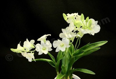 """Dendrobium bigibbum """"White mini Type"""""""