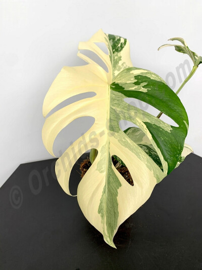 Monstera deliciosa Variegata ''Half Moon''(3 leaves)