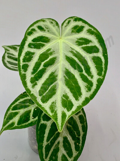 Anthurium crystallinum ''Silver Queeen''
